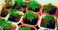 За выращивание конопли омич заплатил 1 500 рублей