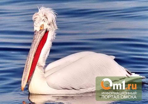 Гнездовья кудрявых пеликанов в Омской области будут пристально охранять