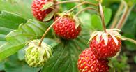 Заблудивших на болоте собирателей ягод нашли