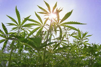 В России начали выращивать полезную коноплю