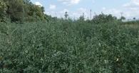 «Омский бекон» все-таки заставят платить за сорняки и навоз