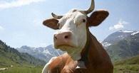 В родном селе губернатора Назарова вырежут 1500 коров