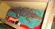 Из Омска в Казахстан везли крокодила и питона под видом собаки и кошки