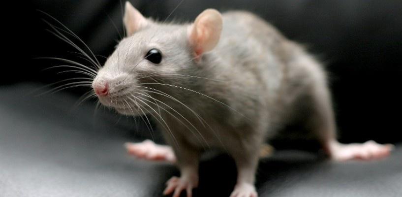 В Омске крысы атаковали жилую многоэтажку