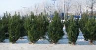 В преддверии Нового года для омичей заготовят 46 тысяч хвойных деревьев