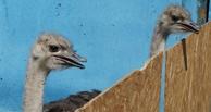 В омской колонии №6 будут разводить черных африканских страусов