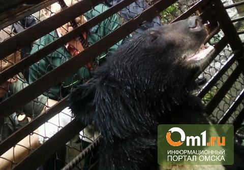 Омские полицейские задержали сбежавшего из гаража гималайского медведя