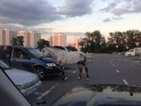На парковке у московского «Ашана» цыганский конь выпрашивает еду