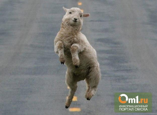 Омская мэрия уже сутки не может убрать с дороги мертвую овцу