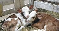 В Омской области у алиментщика за долги забрали «Волгу» и двух быков