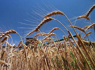 «Дочку» Сутягинских оштрафовали за некошерную кукурузу и пшеницу