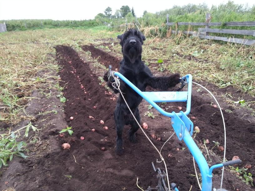 В Омской области пес научился ходить за водой и сажать картошку