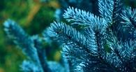 Во время субботника Омск засадили голубыми елями и липами