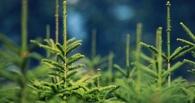 В Омске новогодние елки начнут продавать с 1 декабря
