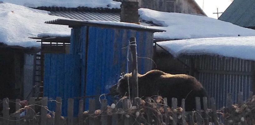Во дворе жилого дома в Омске гуляла медведица Машенька