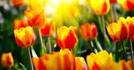 Мэрия Омска потратит больше 2,5 млн рублей на тюльпаны