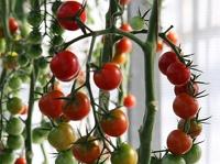 Жителям Аргентины запретили есть помидоры