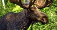 Двоих жителей Омской области подозревают в убийстве лося