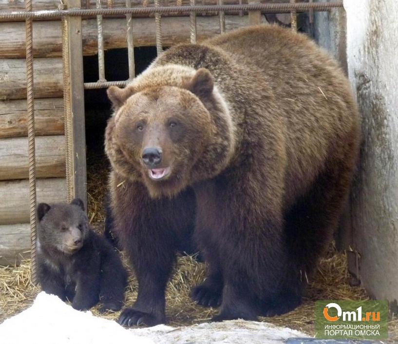 В Большереченском зоопарке медведица показала своих медвежат