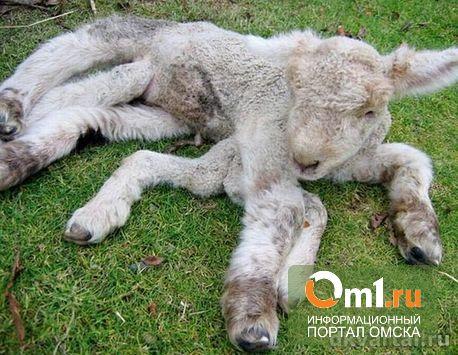 В Казахстане родился ягненок с восемью ногами и тремя глазами