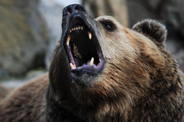 В Омской области на человека напал медведь