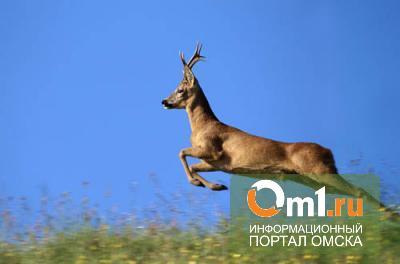 В Омской области браконьер застрелил косулю, бросил тушу, мотоцикл и сбежал