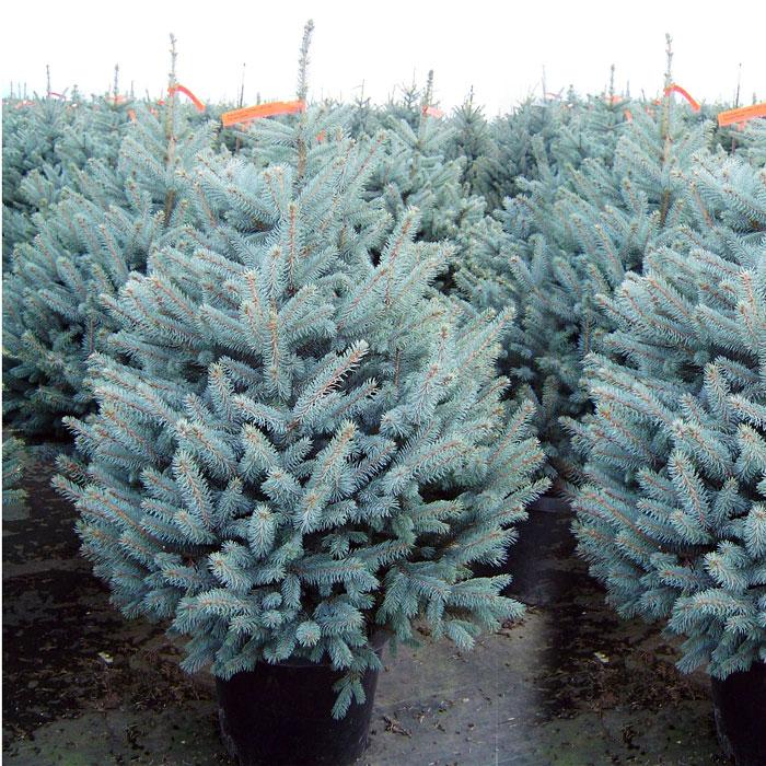 Старые деревья на Красном пути в Омске заменят на голубые ели