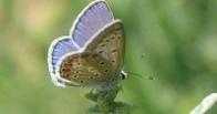 Ученые предложили классифицировать бабочек по гениталиям