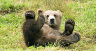 В Омске суд отказал охотнику в требовании отстреливать медведей весной
