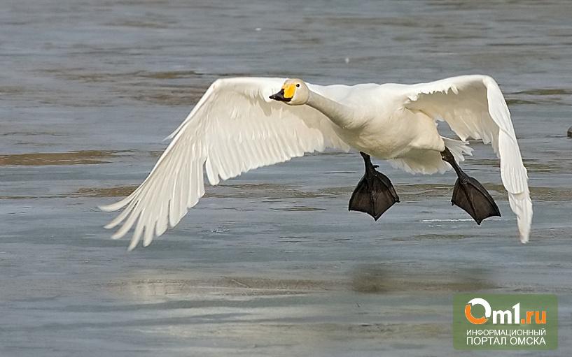 В Омск в «Птичью гавань» прилетел крупнейший из всех лебедей