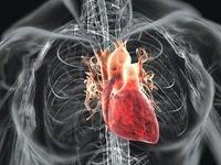 Биологи из США вырастили сердце из стволовых клеток