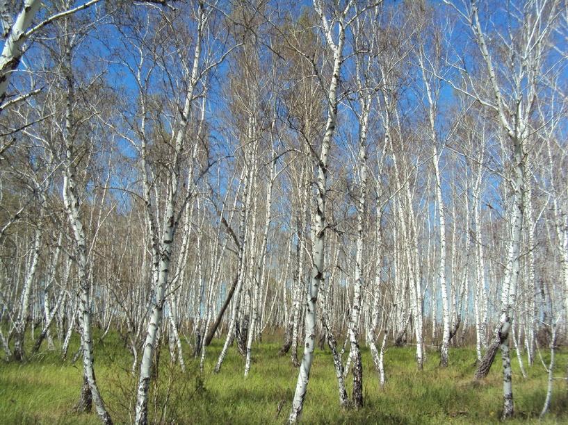 Гусеницы шелкопряда не составляют угрозу для лесов Омской области