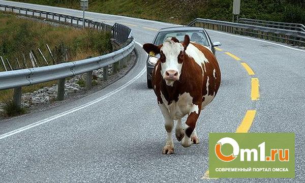 На трассе под Омском сбили стадо коров