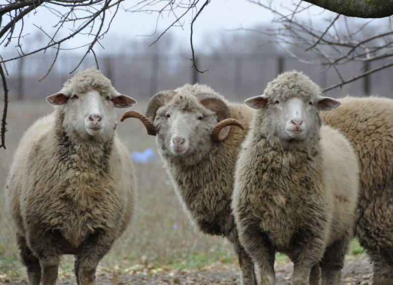 В Омске у фермера украли отару овец