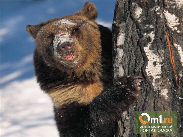 В Омской области стало больше медведей и кабанов