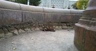 Омичи нашли в городском фонтане енотовидную собаку
