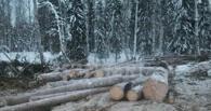 В Омской области незаконно вырубили ели на 700 000 рублей