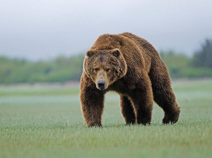 Омские полицейские ищут медведя, напавшего на человека
