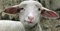 В Омской области супруги при разводе не поделили лошадь и овец