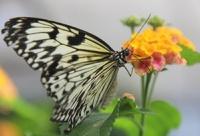 В Великобритании началась ежегодная перепись бабочек
