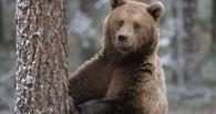 Омич продает четырехгодовалую медведицу через интернет