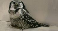 К жительнице Омска на балкон залетела болотная сова
