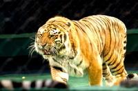 Тигр растерзал дрессировщика во время циркового представления