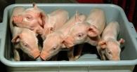 Депутата омского Заксобрания винят в голодной смерти пермских свиней