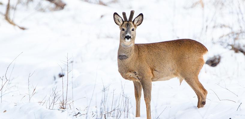 В Омской области браконьер застрелил четыре косули