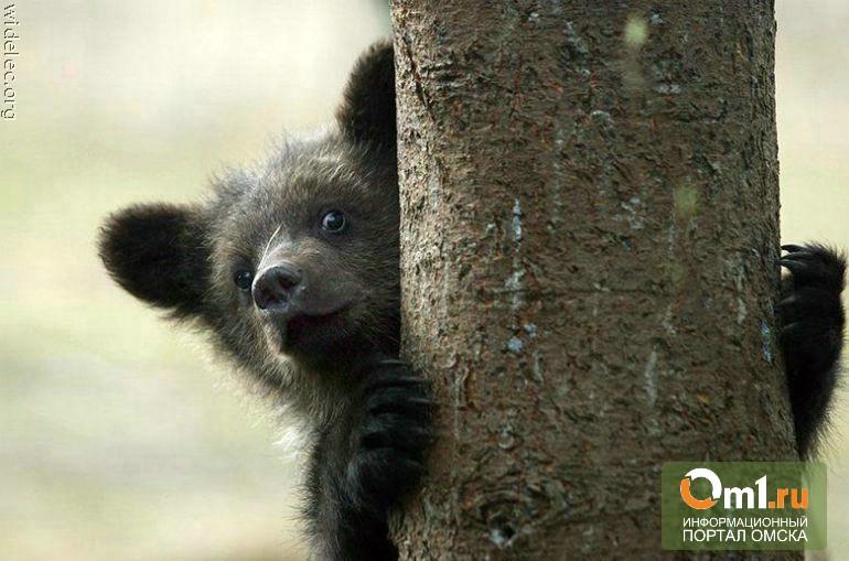 Омичей зовут в зоопарк смотреть на новорожденных медвежат