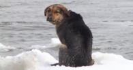 «Прочь из Омска»: об омской собаке, которая пыталась уплыть на льдине, написали песню