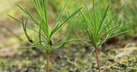 В омских лесах высадят 7 млн саженцев