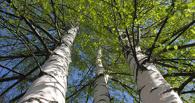 В Омске высадят 6,5 тысяч берез