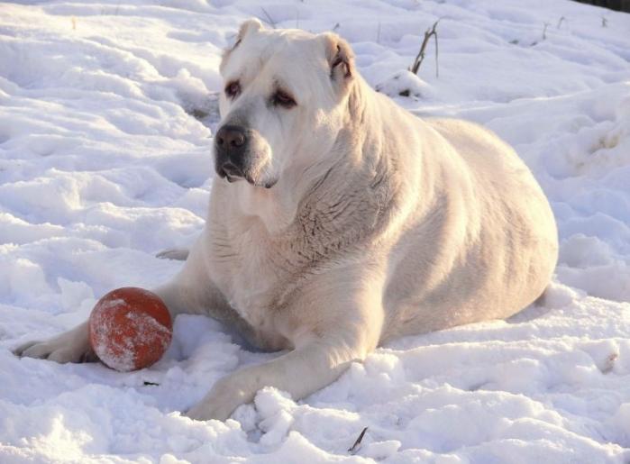 В Омской области мальчика покусала породистая собака